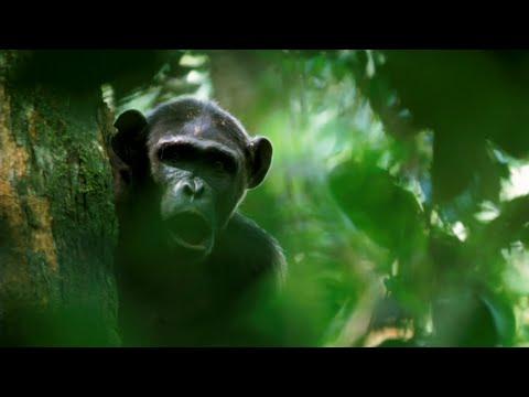 Fire of chimpanzees | Crickette Sanz & Dave Morgan | TEDxGatewayArch