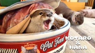 ぽっちゃりしすぎてケンカ最強になってしまったカワウソハナ Chubby Otter Grappling Techniques