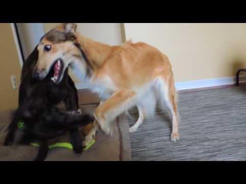 Silken windhound puppies play