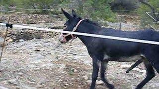 Donkey Mating - Burros Apareándose