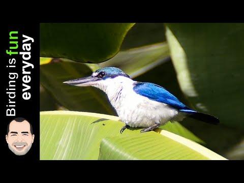 White Collared Kingfisher Habitat