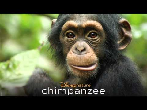 DisneyNature CHIMPANZEE Complete Soundtrack/Score (Recording Sessions)