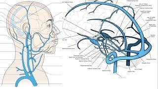Pescoço face, cabeça veias e e artérias da