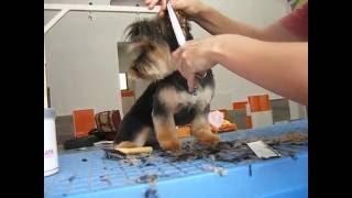 Peluquería Canina Suaves : Corte De Cara De Yorkshire Terrier