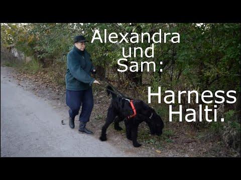 Halti Harness . Riesenschnauzer Sam dreht eine Runde. :)