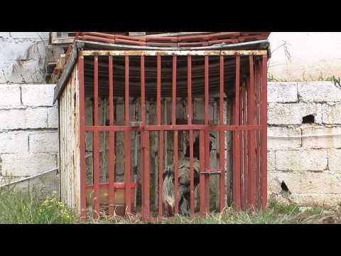 Турецкий петух в заточении жалуется на свою горемычную жизнь.