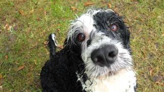 Playing fetch with a Portuguese water dog