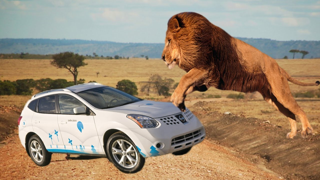 TOP Of Lions Chasing Cars In National Reserve