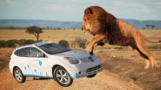 TOP of Lions Chasing Cars in National Reserve   Animals Video Compilation