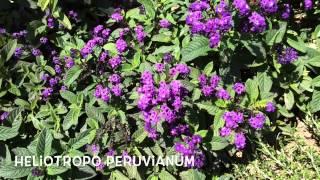 Heliotropo peruvianum. Garden Center online Costa Brava - Girona.