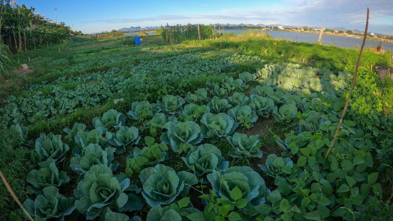 สวนผักริมแม่น้ำโขง นครพนม คะน้า สลัด กะหล่ำปลี สวนผักผสมผสาน