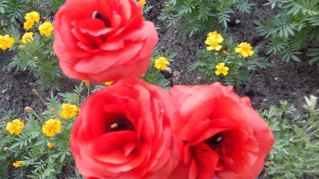 Цветы лютики с фото