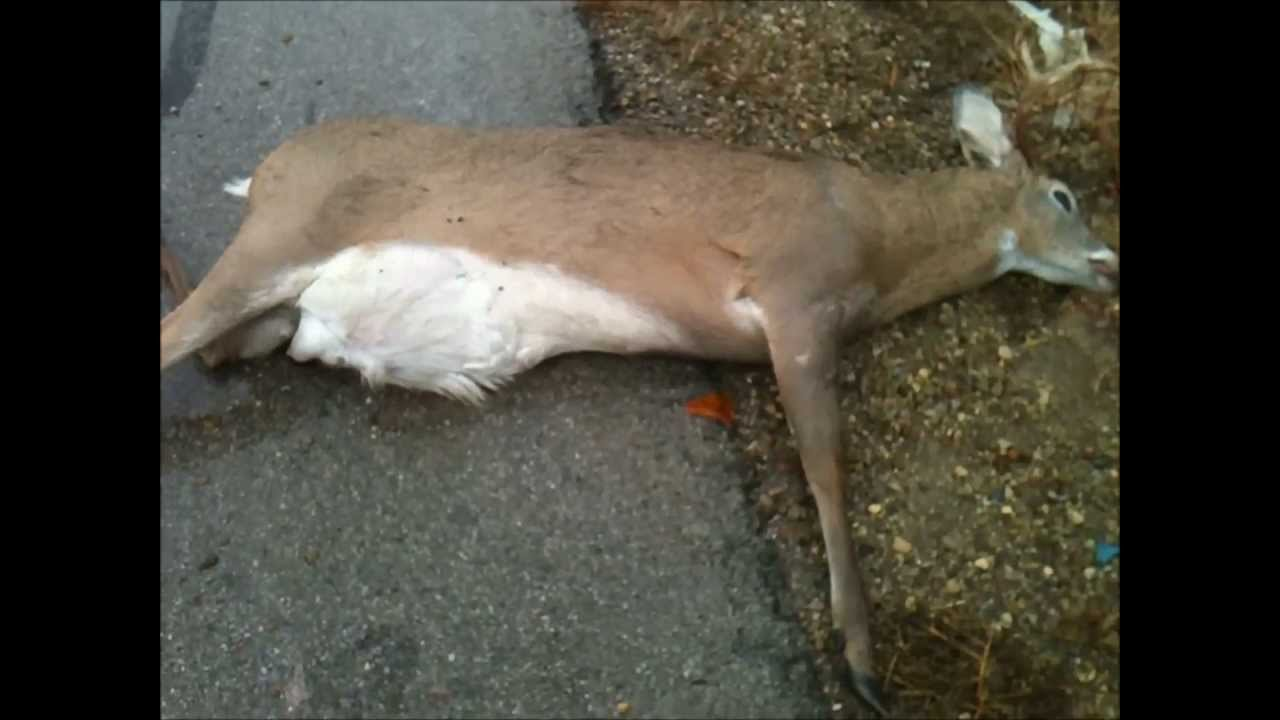 A Deer Getting Hit By A Car