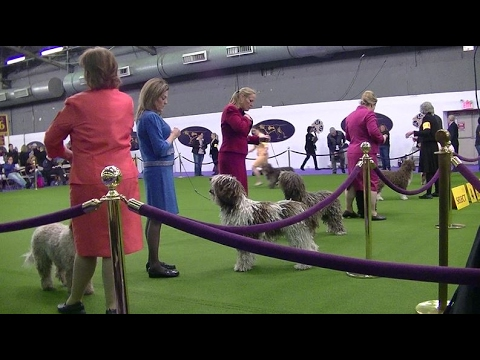 Spanish Water Dog Westminster dog show 2017