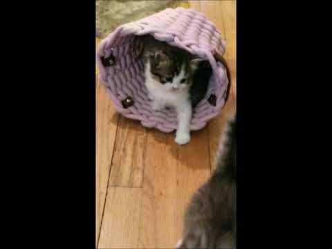 Abbey- RagaMuffin Cat World