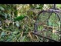 Mikat Burung Cucak Ijo Di Tengah Hutan Dapat 3 Ekor