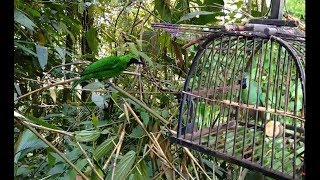 Gambar cover Mikat Burung CUCAK IJO di Tengah Hutan Dapat 3 Ekor