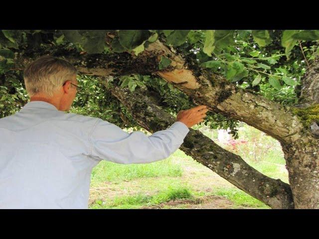 Lon Rombough's Family Apple Tree