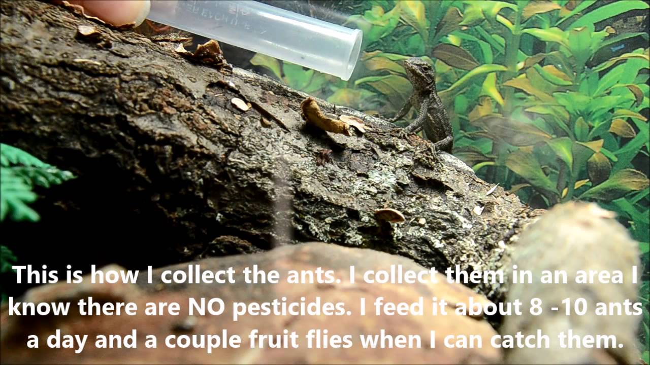 How To Get Your Baby Fence Lizard To Eat Youtube
