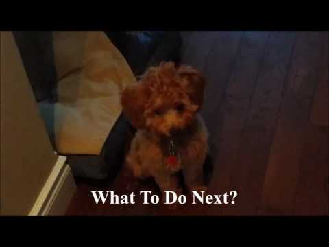 Funny Dogs, Keeshonds, Funny Puppies