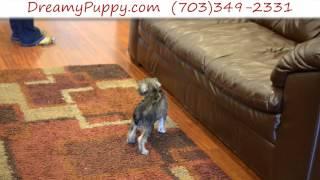 Dreamy Puppy - Miniature Schnauzer Girl