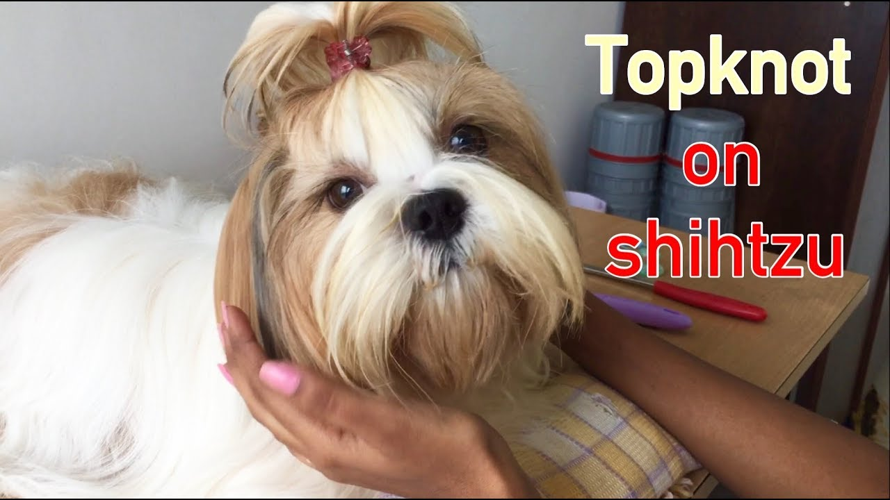 How To Put Topknot For Shih Tzu Youtube
