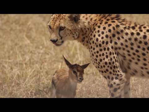 [!!Shaky Video!!] Cheetah playing with baby gazelle before eating it