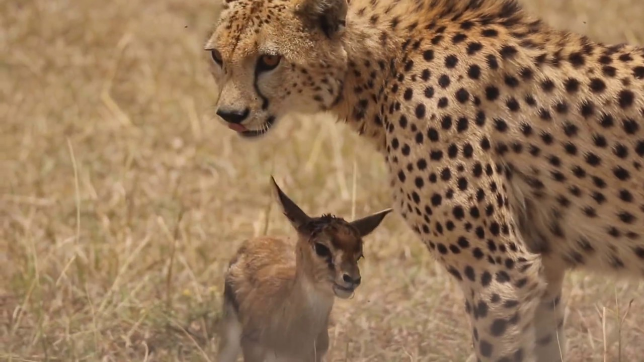 Cheetah playing with baby gazelle before eating it
