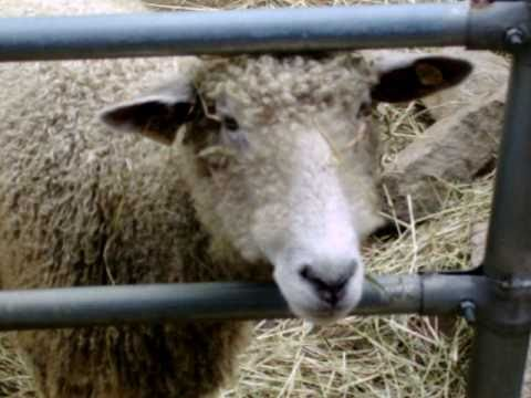 Crazy Sheep