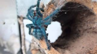 Avicularia Versicolor - grows up [HD]