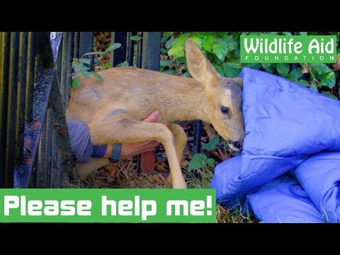 Rescuers race to save deer STUCK FAST in a gate!
