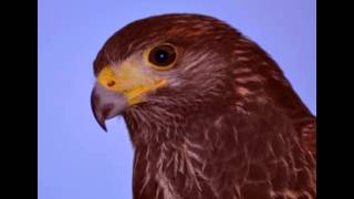 Hawk Facts - Facts About Hawks