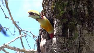 TUCANO - Ramphastos dicolorus - alimentando os filhotes