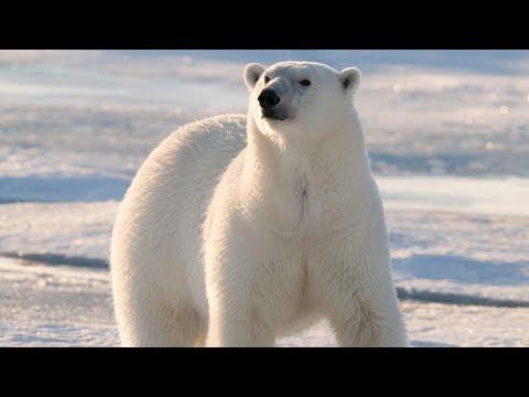 Polar Bear - Animal of the Week