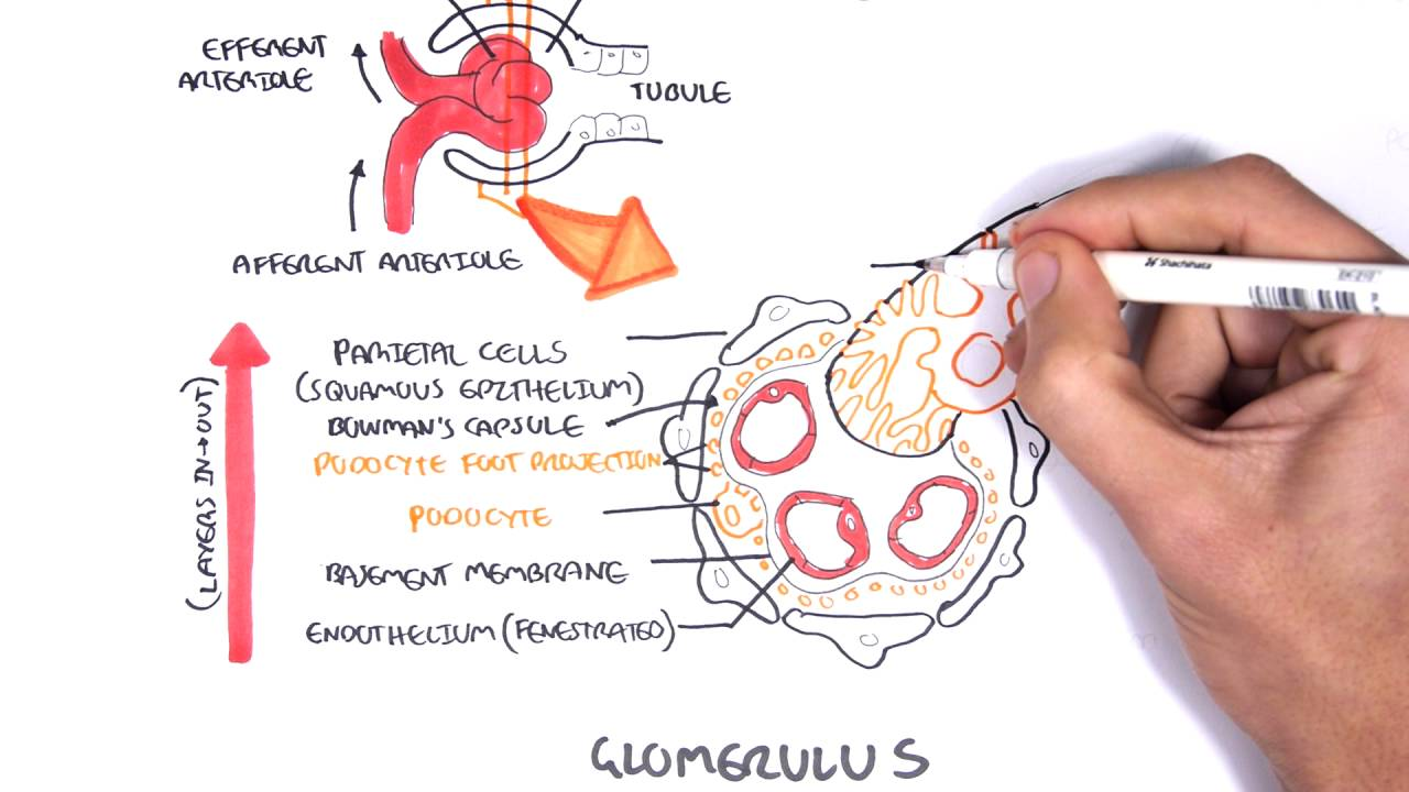 Nephrotic Syndrome - Types and pathology (histology) - YouTube