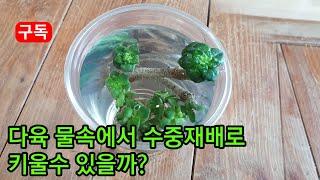 다육식물 물속에서 물러 죽지않고 수중재배로 키울수 있을…