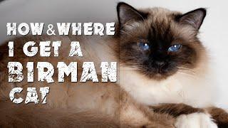 How & where I get a Birman cat