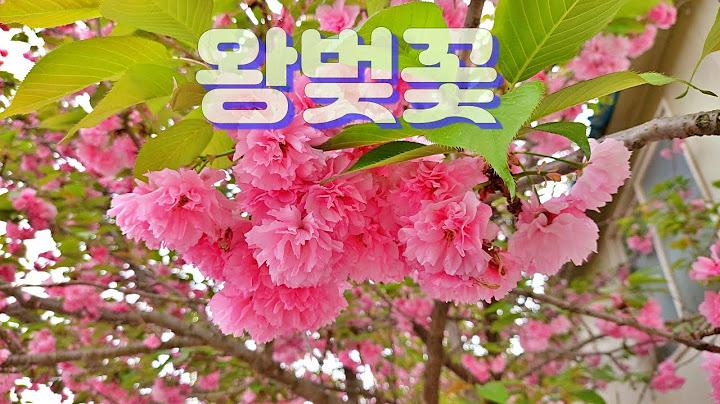 🏝 봄을 찬양하는 왕벚꽃의 황홀함