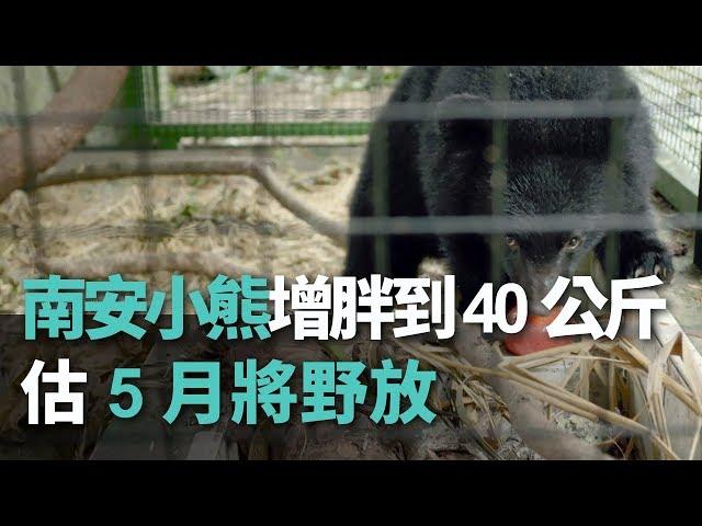 南安小熊增胖到40公斤 估5月將野放【央廣新聞】
