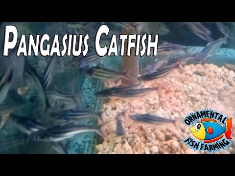 Pangasius Catfish