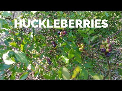 Picking Huckleberries Before the Storm ~~Did I Get Wet?