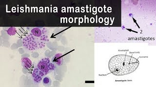 Leishmania amastigote morphology