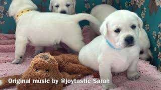 English White Lab mama dog plays with her puppies.