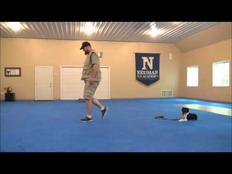 Lacy (Brittany Spaniel) Boot Camp Dog Training Video