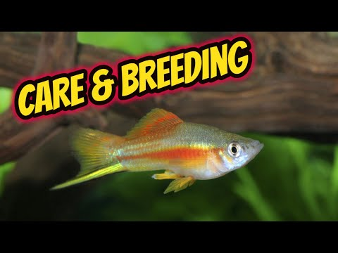 Swordtail Care And Breeding Guide