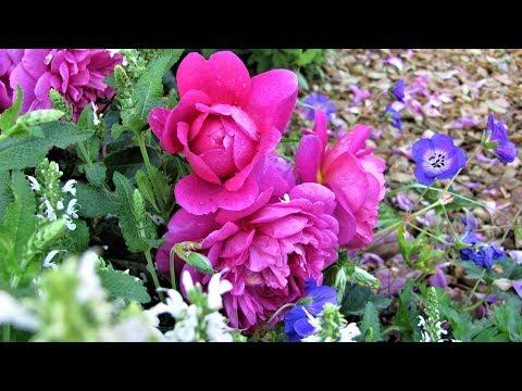 Какие цветы посадить с розами  Свита для королевы цветов