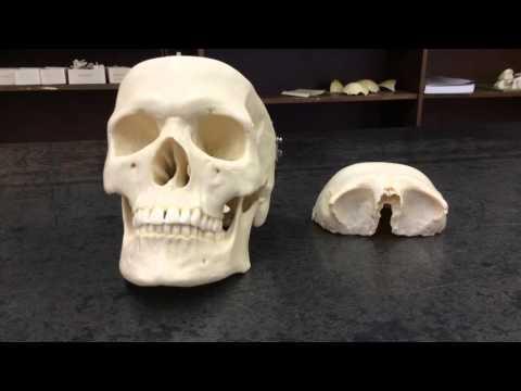 Skull frontal bone