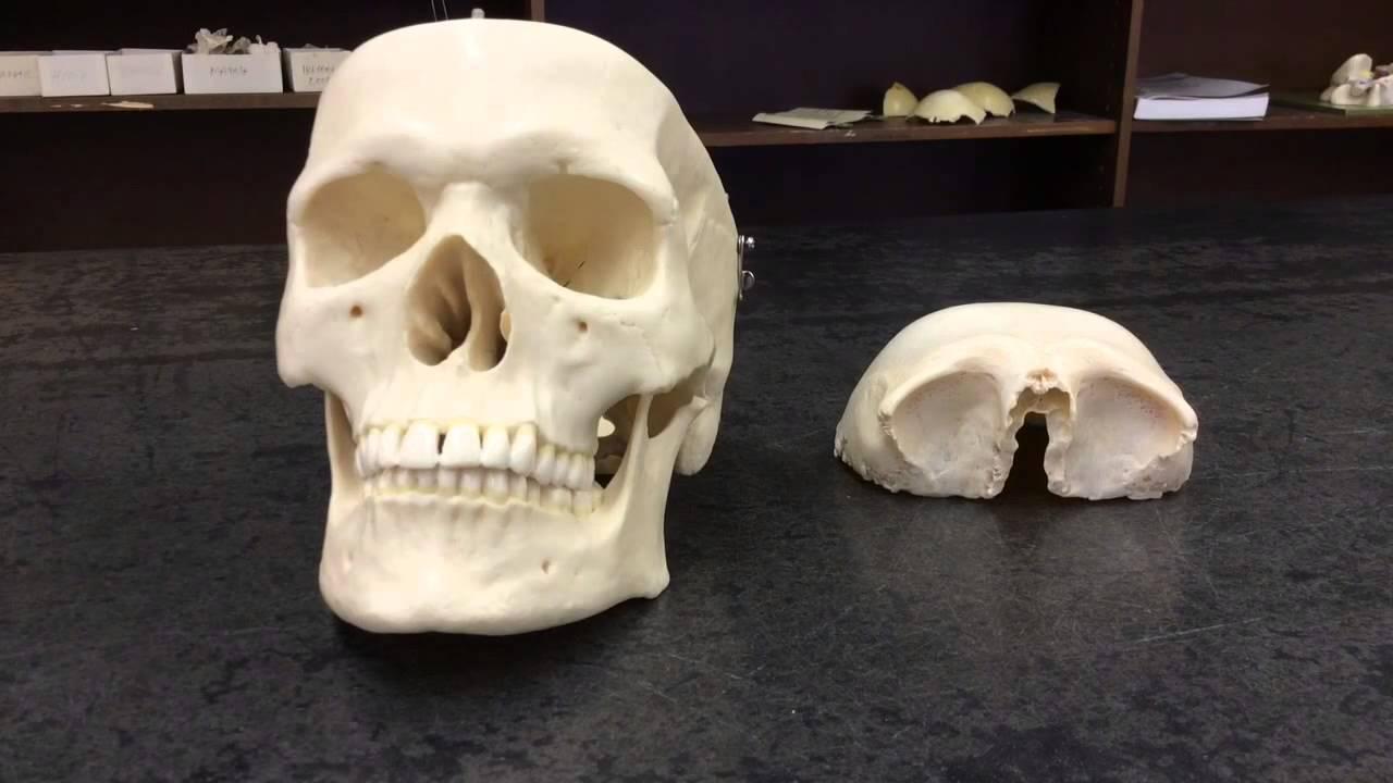 Skull Frontal Bone Youtube
