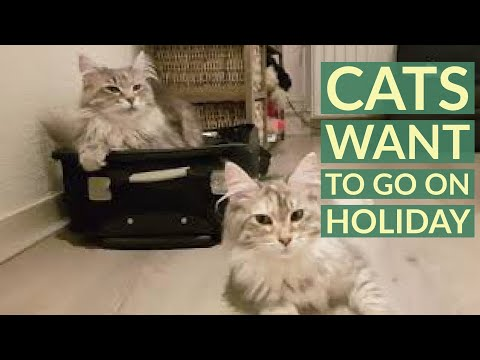 when you want to pack your bags and your maine coon cats do not agree