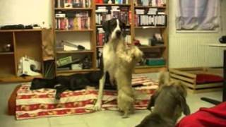 Cairn Terrier Foxi Loves Great Dane Apollonia To Bits